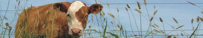 A curious calf in West Devon